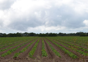 Выгодно ли выращивать картофель на продажу